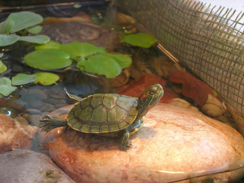 Красноухие черепахи на улице